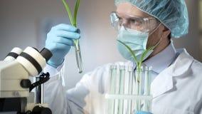 Wetenschappelijke laboratoriumarbeider die spruiten van kunstmatig afgescheiden graangewassen onderzoeken stock fotografie