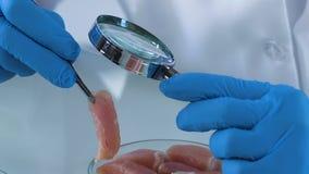 Wetenschapper die steekproeven van vlees bestuderen door vergrootglas, kwaliteitscontrole stock video