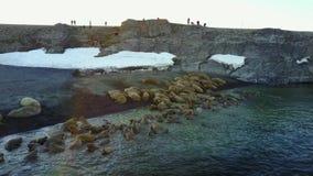 Wetenschapper en toeristen bij het voeden van basis van walrussen op het Nieuwe Eiland van Aardevaigach stock videobeelden