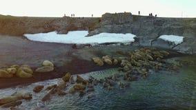 Wetenschapper en toeristen bij het voeden van basis van walrussen op het Nieuwe Eiland van Aardevaigach stock video