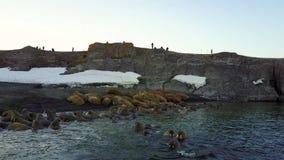 Wetenschapper en toeristen bij het voeden van basis van walrussen op het Nieuwe Eiland van Aardevaigach stock footage