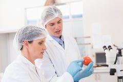 Wetenschappers die aandachtig tomaat onderzoeken stock foto's