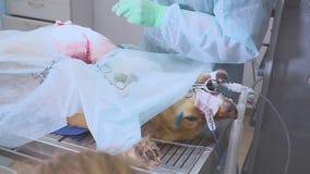 Weterynaryjna operacja przy zwierzę domowe kliniką Brzuszny operacja labrador, aporter lub zdjęcie wideo