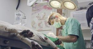 Weterynaryjna operacja - weterynarz działa białego psa w zwierzę domowe klinice zdjęcie wideo
