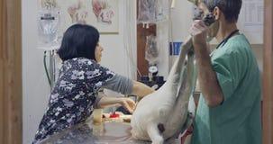 Weterynaryjna operacja - weterynarz działa białego psa w zwierzę domowe klinice zbiory