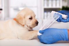 Weterynaryjne fachowe ręki stawiający opieka zdrowotna bandaż na ślicznym labradora szczeniaku iść na piechotę zdjęcie stock