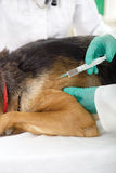 Weterynaryjny chirurg daje szczepionki psia niemiec Sheph Zdjęcia Stock