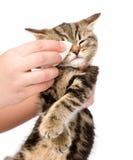 Weterynaryjny chirurg wyciera oczy kot Odizolowywający na białym backgr Zdjęcia Stock