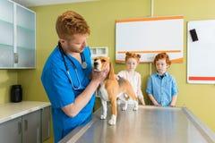 Weterynaryjny egzamininuje Beagle pies przy kliniką Zdjęcia Royalty Free