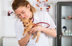 Weterynaryjny z chihuahua szczeniakiem obraz royalty free