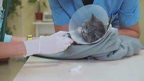 Weterynarz bierze krew od kot łapy dla testa przy weterynaryjną kliniką zdjęcie wideo