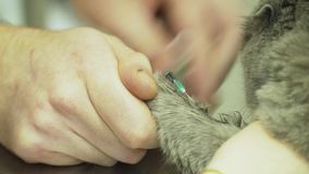 Weterynarz bierze krew od kota zdjęcie wideo