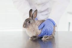 Weterynarz egzamininuje królika królika Obrazy Royalty Free
