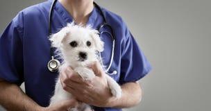 Weterynarz lekarka egzamininuje Maltańskiego szczeniaka Zdjęcie Stock