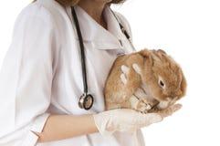 Weterynarz lekarka z zwierzęcia domowego brązu królikiem. Fotografia Royalty Free