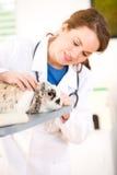 Weterynarz: Ostrość na królika pacjencie Fotografia Stock