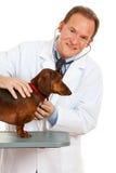 Weterynarz: Sprawdzać Out Dacshund Obrazy Royalty Free