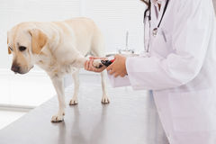 Weterynarz używa gwoździa cążki na labradorze obrazy stock