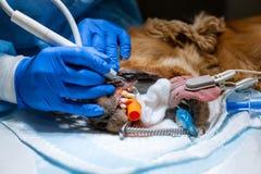 Weterynarza chirurg szczotkuje jego psów zęby pod anestezją na operacyjnym stole Sanacja oralny zag??bienie w psach dentystyka zdjęcie stock