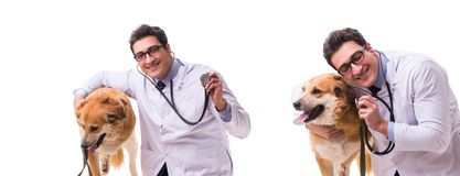Weterynarza golden retriever doktorski egzamininuje pies odizolowywający na bielu obrazy stock