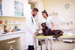 Weterynarza kładzenia bandaż na psiej chorej nodze przy zwierzęcia domowego biurem zdjęcie stock
