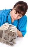 Weterynarza obcieknięcia krople figlarka one przyglądają się w klinice odosobniony obraz stock