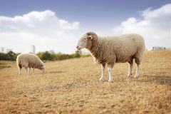 Wether and sheep Royalty Free Stock Images