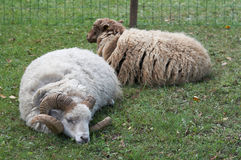 The wether and sheep Royalty Free Stock Photography