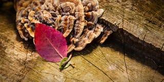 Wethered与真菌和一片红色和一片绿色叶子的树桩 免版税库存照片
