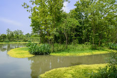 Wetland aquatic grass and verdant woods in sunny summer afternoo Stock Images