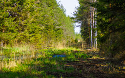 Restoration of bog ecosystem near forest stock image