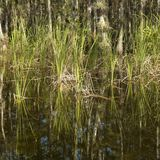 Wetland in Florida Everglades. Stock Photography