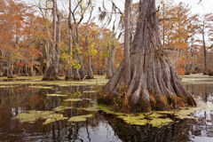 Wetland Forest Merchants Millpond NC State Park US Stock Photography