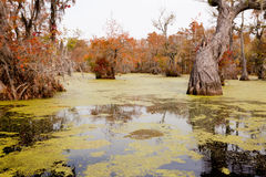 Wetland Forest Merchants Millpond NC State Park US. Fall colors of Water Tupelo, Nyssa aquatica, and Cypress tree, Taxodium distichum, in Merchants Millpond Royalty Free Stock Images