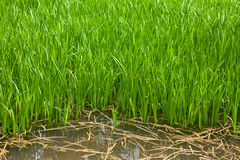 Wetland grass Royalty Free Stock Image