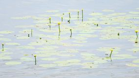 Wetland lake with big leaves and yellow flowering water lilies. The aquatic swamp plants covering and floating on smooth level stock footage