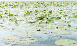 Wetland pond Royalty Free Stock Image