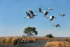 Wetland red-crowned cranes fly overhead stock image