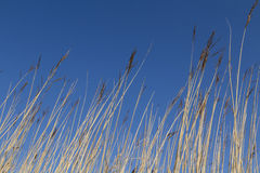 Wetland Reeds Royalty Free Stock Images