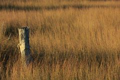 Wetland scene: an old weathered fence post in a sea of rushes. An old lichen-encrusted fence post protrudes from thick beds of rushes in a salt marsh. Selective Stock Photography