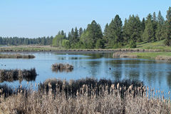 Wetland Scene with Pine Trees and Cattails Stock Photo