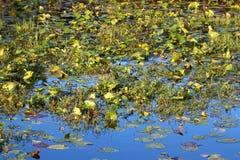 Wetland Vegetation Florida Stock Image