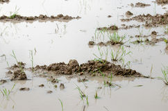 Wetland. Water logged on field,water on the clay that it will prepare to planting rice Stock Photos