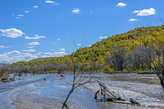 wetland and White Birch in the autumn Royalty Free Stock Photo