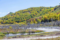 wetland and White Birch in the autumn Royalty Free Stock Photography