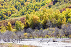 wetland and White Birch in the autumn Stock Image