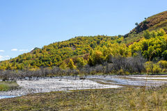 wetland and White Birch in the autumn Royalty Free Stock Photos