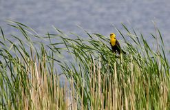 Wetland Yellow Headed Blackbird. The yellow headed blackbird sits on the reeds and shows against the blue water of the wetland Stock Images