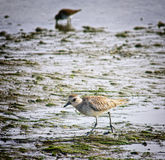 Wetlands Bird San Diego County, California. A sanderling, a small sandpiper shore bird, or wader, scurries across the mud of an estuary of the Pacific Ocean in royalty free stock images