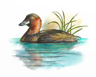 Wetlands birds, little grebe Royalty Free Stock Images
